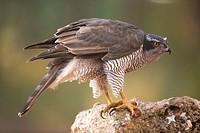 goshawk (Accipiter gentilis). Photographed in Cuenca.