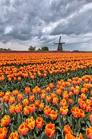Dark clouds on fields of multicolored tulips and windmill Berkmeer Koggenland North Holland Netherlands Europe.
