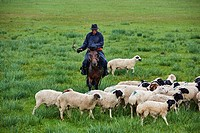Mongolia, Arkhangai province, nomad camp, sheep herd under the rain.