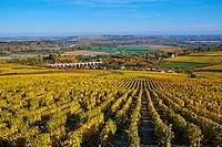 France, Cher 18, vineyard of Sancerre.