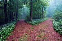 Foggy morning in beech forest, bear´s garlic, wild garlic, wood garlic or ramson (Allium ursinum) in full of bloom at wayside - Franconian Jura, Bavar...