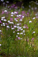 Hare´s-tail Cottongrass, Tussock Cottongrass or Sheathed Cottonsedge (Eriophorum vaginatum) and Ragged Robin (Lychnis flos-cuculi) flowering in moory ...