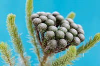 single stem many round flower heads, brunia albiflora still life blue background - strength and abundant.