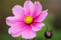 stunning pink cosmos sonata and bud - forward looking and positive.