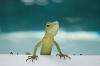 Green Crested Lizard (Bronchocela cristatella) on side of pool, Klungkung, Bali, Indonesia.
