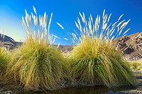 Cortaderia atacamensis (carrizo, fox tail) in lauca National Park. Norte Grande region. Chila