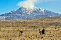 Alpacas under the Guallatire volcano with fumaroles. Lauca National Park. Norte Grande region. Chile.