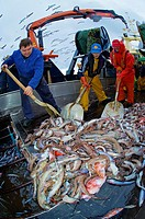 Life on board in a trawler. Releasing the rig. Collecting fish for their selection. Eastern Atlantic. Galicia. Spain