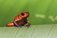 Blue-jeans Frog or Strawberry Poison-dart Frog, Dendrobates pumilio, sitting on a green banan leaf in rainforest at Laguna del Lagarto, Boca Tapada, s...