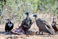 Hooded Vulture (Necrosyrtes monachus) with Whitebacked Vultures (Gyps africanus) scavenging on kill, Kruger National Park, Transvaal, South Africa.