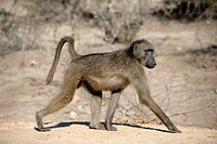 Chacma Baboon (Papio ursimus) walking, Kruger National Park, Transvaal, South Africa.