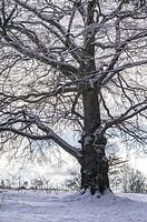 Mighty big oak tree in snowy wintery environment.