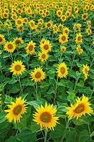 field of sunflowers, Switzerlannd.