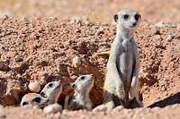 Meerkats (Suricata suricatta), adult and young at burrow entrance, Kalahari desert, Hardap Region, Namibia, Africa.