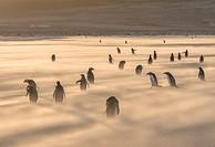 Gentoo Penguin (Pygoscelis papua), Falkland Islands. South America, Falkland Islands, January.