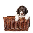 A 4 week old liver and white English Springer Spaniel puppy in a wicker basket.