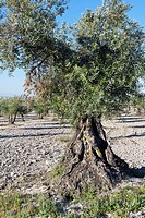 Olive trees in Pinto. Madrid. Spain. Europe.