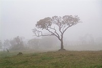 Trees in foggy landscape, Puracé National Natural Park, Andean natural region, Colombia