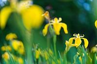 YELLOW FLAG-LIRIO AMARILLO (Iris xiphioides), Flowers, Springtime, Liendo, Cantabria, Spain, Europe.