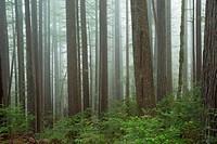 Forest along Oregon Redwoods Interpretive Trail, Siskiyou National Forest, Oregon.