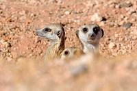 Meerkats (Suricata suricatta), adult male with young at burrow entrance, Kalahari desert, Hardap Region, Namibia, Africa.