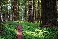 Walk among Redwood Titans.