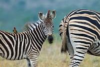 Burchell's zebra (Equus quagga burchellii) Natal S. Africa.