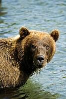 Bear in Kurile lake. Kamchatka. Siberia. Russia.