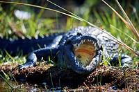 Nile crocodile (Crocodylus niloticus) resting with mouth open to regulate body temperature. Moremi National Park, Okavango delta, Botswana, Southern A...