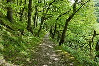 Pathway through Sessile Oak in Horner's Neck Wood in Exmoor National Park near Watersmeet and Lynmouth, Devon, England.