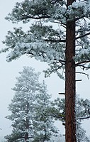 Ponderosa pine (Pinus ponderosa) with snow, Fremont National Forest, Oregon.