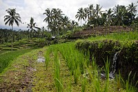 Watering the rice paddy, Bali, Indonesia, Southeast Asia.
