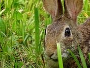 A rabbit hides in the grass, Pennsylvania, USA.