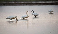 Tundra swans layover in Northern California during the winter migration.