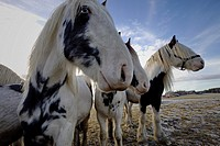 Wide angle close up photograph of Tinker horses on a frosty pasture under a cloudy sky in Anundsjoe, Sweden.