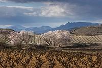 San Asensio wine scape in spring time, La Rioja wine region, Spain, Europe.