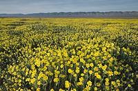 Carrizo Plains National Monument, California. Yellow Goldfields (Lasthenia sp. ) carpeting the plains near Soda Lake.