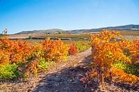 Vineyards in Autumn. Ribera del Duero, Burgos province, Castilla Leon, Spain.