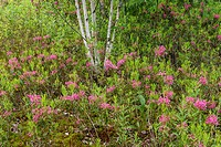 Sheep laurel (Kalmia anguvstifolia) in bloom with white birch tree trunks, Greater Sudbury, Ontario, Canada.