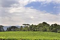 Rwanda, Nyungwe National Park, Tea Plantation.