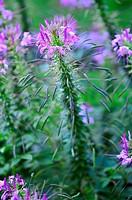 A closeup of a cleome flower in soft focus, Pennsylvania, USA.