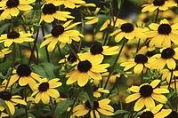 A mass of black-eyed susans, Pennsylvania, USA.