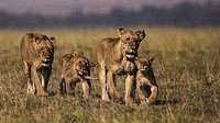 Lionesses with cubs walking to the shade. Masai Mara National Reserve, Kenya