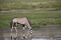 Gemsbok (Oryx gazella), Kgalagadi Transfrontier Park, Kalahari desert, South Africa/Botswana.