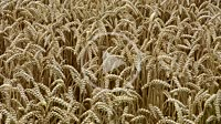 Field of wheat, close up