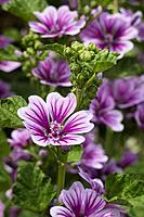 Purple Common mallow flowers.