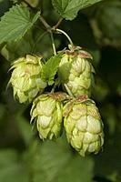 Twig of a hop plant close up.