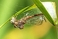 garden spider with caught dragonfly in Germany