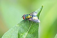 fly, Lucilia caesar on a green leaf.
