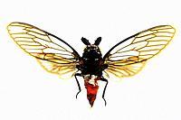 Beautiful Cicada in resin - Thailand.